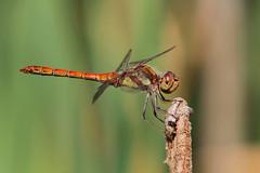 Sympetrum Vulgatum (Visual Stripes) Tags: dragonfly odonata sympetrum vulgatum insect invertebrate canoneos7d sigma150mm macro sigma14teleconverter bokeh
