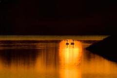 Canada Geese couple at sunrise, Platte River near Wood River, Nebraska (diana_robinson) Tags: canadageesecouple brantacanadensis canadageese sunrise platteriver woodriver nebraska