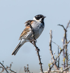 Dungeness Reed Bunting