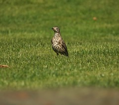 Mistle (Deepgreen2009) Tags: mistlethrush garden home erect alert wildlife spring speckled lawn