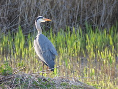 Heron (LouisaHocking) Tags: heron forest farm british wildlife wild cardiff nature bird birds