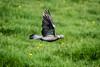 Flying Pigeon (_John Hikins) Tags: pigeon bird birds flight flying animal nikon nikkor nature wildlife woods grass wings 18300mm 18300 devon d500 torbay torquay