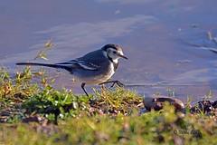 Pied Wagtail (Mike Slade.) Tags: piedwagtail motacillaalba bird rspb bowlinggreenmarsh devon uk ©mikeslade