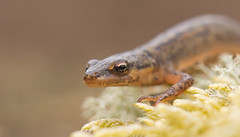 Smooth Newt (Wouter's Wildlife Photography) Tags: smoothnewt salamander triturusvulgaris amphibian nature naturephotography wildlifephotography wildlife animal shallowdepthoffield billund macro macrophotography