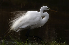 Great Egret (Parris Photography) Tags: greategret egret bombayhook delaware parrisphotography