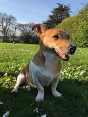 Enjoying the sunshine (KelJB) Tags: garden sunshine cute small canine jackrussell russell jack terrier animal pet doggy dog