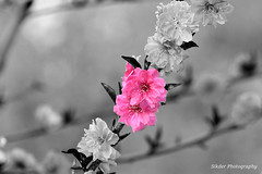 Flower mixed (RK Sikder) Tags: eternal exotic delicate spring ornamental exclusive arrangement decorations decorating blossoming background pinkish pink white fauna flora horticulture botanical pretty cute lovely beautiful anyang cherry