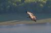 Griffon vulture (Gyps fulvus) (Ivaylo Madzharov) Tags: rhodope mountain bulgaria wildlife bird griffon vulture