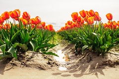 DSC05880.jpg (jaғar ѕнaмeeм) Tags: flowers skagit tulipfestival tulips washington mountvernon unitedstates us