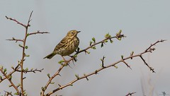 meadow pipit (1) (Simon Dell Photography) Tags: nature spring summer sheffield shirebrook valley s12 wild wildlife animals birds sky lark pipit butterflys simon dell photography
