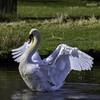 Mute swan (David R Hart) Tags: davidhart nikond850 afsnikkor200500mmf56edvr dunhammassey nationaltrust cheshire england nature wildlife muteswan