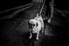 E Y E . O F . T H E . T I G E R (Panda1339) Tags: pug blackandwhite streetphotography monochrome cinematic london ldn uk thepuglife 3x aww