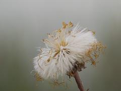 2018-04-21 12-43-18 (B,Radius8,Smoothing4) (turbok) Tags: blütengelb huflattich pflanze verblüht wildblumen wildpflanzen c kurt krimberger
