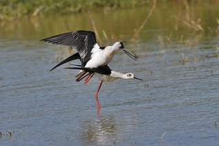 Echasse blanche - Himantopus himantopus - Black-winged stilt