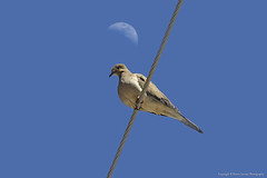 Morning Dove sitting under the moon (Pearce Levrais Photography) Tags: moon morning dove wire canon 7d markii pose sitting standing ornithological feather