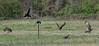 Vultures - 040518-135334 (Glenn Anderson.) Tags: birds nikonlens vultures carrion feathers landscape readhead nature photo photograph pic picture fencepost beak spring wildlife bird animal