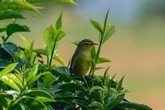 Tickell's Leaf Warbler (sreejithkallethu) Tags: tickellsleafwarbler nature birds birdsofkerala kolukkumala