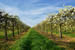 Le printemps des pommiers (Croc'odile67) Tags: nikon d3300 sigma contemporary 18200dcoshsmc paysage landscape arbres trees printemps fleurs flowers fruhling spring ciel sky nature floraison