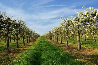 Le printemps des pommiers
