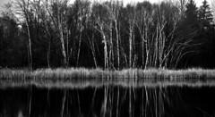 Tree Reflection (Faron Dillon) Tags: trees reflection reflect canon 5ds blackwhite black white art canada ontario nature 24105 grey richmondhill birch scenic landscape
