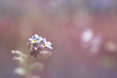 Forget-me-not (Pog's pix) Tags: macro flower forgetmenot pretty bokeh colourful detail blur garden small closeup sliderssunday pink purple blue myosotis wildflower flowers buds arbroath scotland angus nature pastel pastelcolour soft