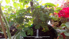 Tomatoes 'Red Robin' in pot on balcony floor 22nd July 2018 (D@viD_2.011) Tags: tomato plants flowering fruiting balcony 22nd july 2017 tomatoes red robin hanging basket