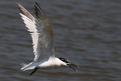 Sandwich Tern - Brownsea Island Dorset(21) (ailognom2005) Tags: sandwichtern brownseaisland nationaltrust dorset dorsetwildlife birds uk