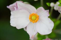 Casual flower (Marco Gagliardi) Tags: macro nikond7200 sigma 105 fiore flore giardino garder udine friuli marco gagliardi nikkor vr micro blossom bocciolo petali nikond