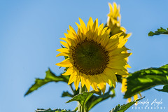 _DSC2618 (Simply Angle) Tags: sony sonyphotography sonyphotographing deerparkwa deerpark washington washingtonstate sunflower sunflowers flowers yellow green ilce7m2 ilce a7ii sonya7ii summer bright field nature sunlight fe70300mmf4556goss