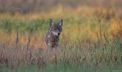 Coyote (Chuck Hantis) Tags: