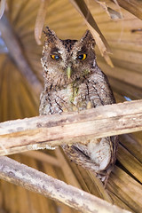 Fighting Trees (marcpeterphotography) Tags: pacific screech owl owls screechowl bird birds birdphotography birdphotographer birdofprey birdsofprey raptor raptors wildlife wildlifephotography marcpeterphotography costa rica costarica