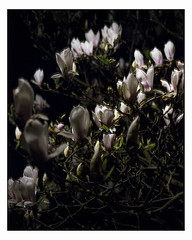 May 6 (Magnolia at Night) 4x5 (magnus.joensson) Tags: sweden skåne spring may magnolia large format 4x5 intrepid camera voigtlander heliar 21cm f45 kodak porta exp laboratoriet epson v800 scan