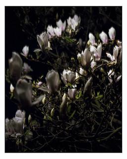 May 6 (Magnolia at Night) 4x5