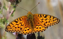 Dark Green Fritillary (Argynnis aglaja) 110718 (15) (Richard Collier - Wildlife and Travel Photography) Tags: wildlife naturalhistory nature insects british butterflies darkgreenfritillary macro closeup naturethroughthelens