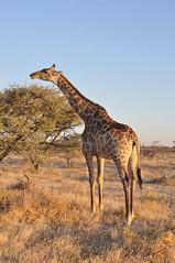 (Giulia La Torre) Tags: namibia africa nature wild travel traveling photography etosha national park etoshapark wildlife life fauna animali animals travelphotography giraffe giraffa giraffes