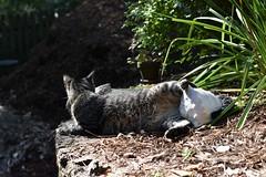 Coming, or going? (rootcrop54) Tags: camille female mackerel tabby sea shell seashell possessive neko macska kedi 猫 kočka kissa γάτα köttur kucing gatto 고양이 kaķis katė katt katze katzen kot кошка mačka gatos maček kitteh chat ネコ
