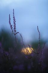 Sunset op de heide . (look to see) Tags: sunset zonsondergang heide sintmaartensheide beek bree belgium bokeh smctakumar50mmf14 pentax vintagelens