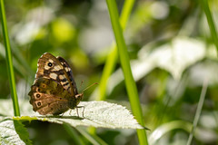 Speckled Wood (oandrews) Tags: 30dayswild bramptonwood butterflies butterfly canon canon70d canonuk insect insects invertebrate invertebrates minibeast minibeasts nature naturereserve outdoors parargeaegeria speckledwood wildlife wildlifetrusts wildlifebcn woodland brampton england unitedkingdom gb