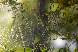 European goldenrod and spider