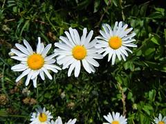 DSCN5665, Daiseys at Fort Hill, July 2018 (a59rambler) Tags: massachusetts capecod flowers