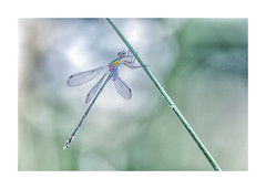 Libellule-2125A5847-Modifier-2 (helenea-78) Tags: agrion libellulle macro nature proxy insecte insectes