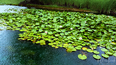 lily pond (SetsuntaMew) Tags: pond water lily green blue leaves baltimore maryland
