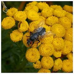 Fotowalk 22.07.18 Spider_53 (J.Wolfmaier) Tags: sonyalpha summer macro macrophotography flower fly