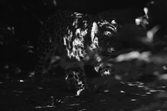 Ombre (carlo612001) Tags: monocrome blackandwhite leopard amurleopard monocromo bianco e nero leopardo leopardodellamur biancoenero ombre felini gatto felines cat cats kitten shadow shadows shooting shootinginnature the enchantedcarousel theenchantedcarousel