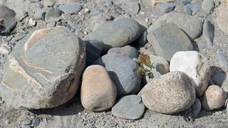 Petit arbre dans les rochers, Rivière Chaudière, Saint-Georges, PQ, Canada - 7317