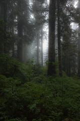 Foggy woods (allthelux) Tags: woods trees fog northcascades pnw seattle ricohgr