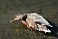 Got an itch..... (pstone646) Tags: duck mallard bird animal waterfowl waterbird nature wildlife water ripples river wings fauna foot