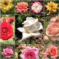 (Tölgyesi Kata) Tags: rosen rosa rose rózsa rózsakert rosegarden tuzsonjánosbotanikuskert botanikuskert botanicalgarden withcanonpowershota620 mosaic mozaik flower rosier blossom fleur virág nyíregyháza collage june nyár summer