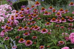 Hemmen 11-07-2018 (marcelwijers) Tags: hemmen 11072018 flower flowers bloem bloemen