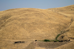 DSC_0698 (rgsagastume2) Tags: red san jose francisco alum rock park bay area south southbay ca california cows moo livestock hamburgers steak